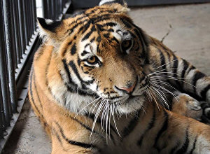 Найденный амурский тигренок в алматинском зоопарке