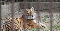 Тигр в зоопарке, архивное фото