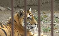 Тигренок Батыр адаптировался в зоопарке Алматы и снова ест мясо