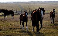 Архивное фото породистых лошадей