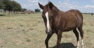 Лошадь гнедой масти в загоне