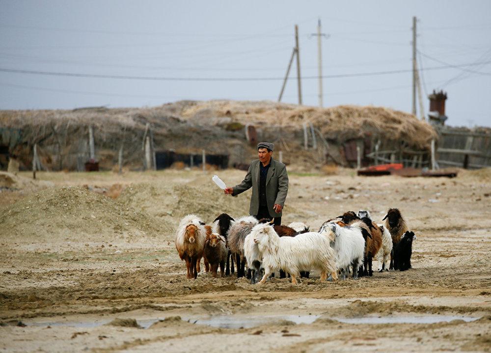 Человек ведет скот с пастбища близ Аральского моря, на юго-западе Казахстана, архивное фото