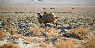 Верблюд за пределами села близ Аральского моря, архивное фото