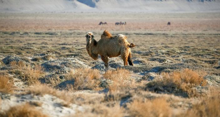Верблюд, архивное фото