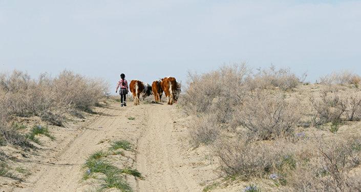 Девочка из села Боген ведет коров на пастбище, недалеко от Аральского моря
