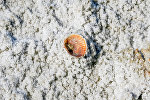 Морская раковина видна на засоленных части Аральского побережья, архивное фото
