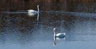 Лебеди на Талдыколе