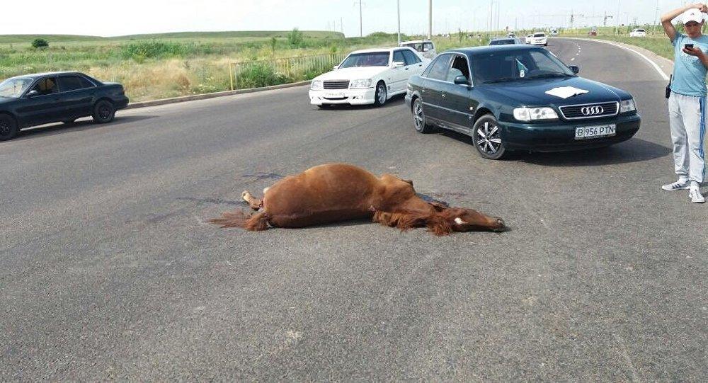 Сбитый жеребенок в Алматы