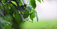 Листья, дерево