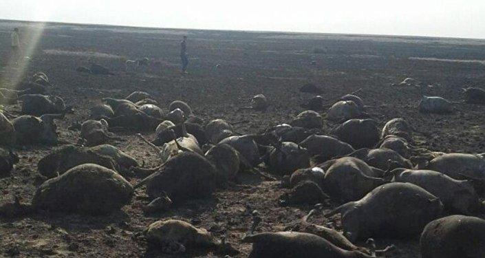 Пастух и полторы тысячи овец погибли в Костанайской области
