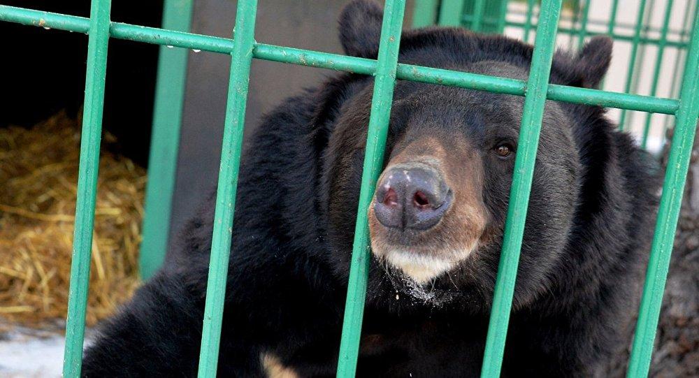 Гималайский медведь в зоопарке, архивное фото