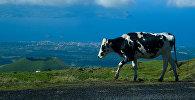 Домашний скот, архивное фото
