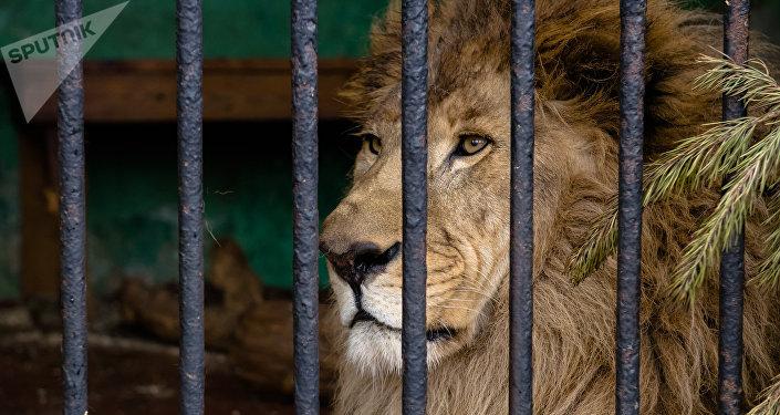 Лев в зоопарке, архивное фото
