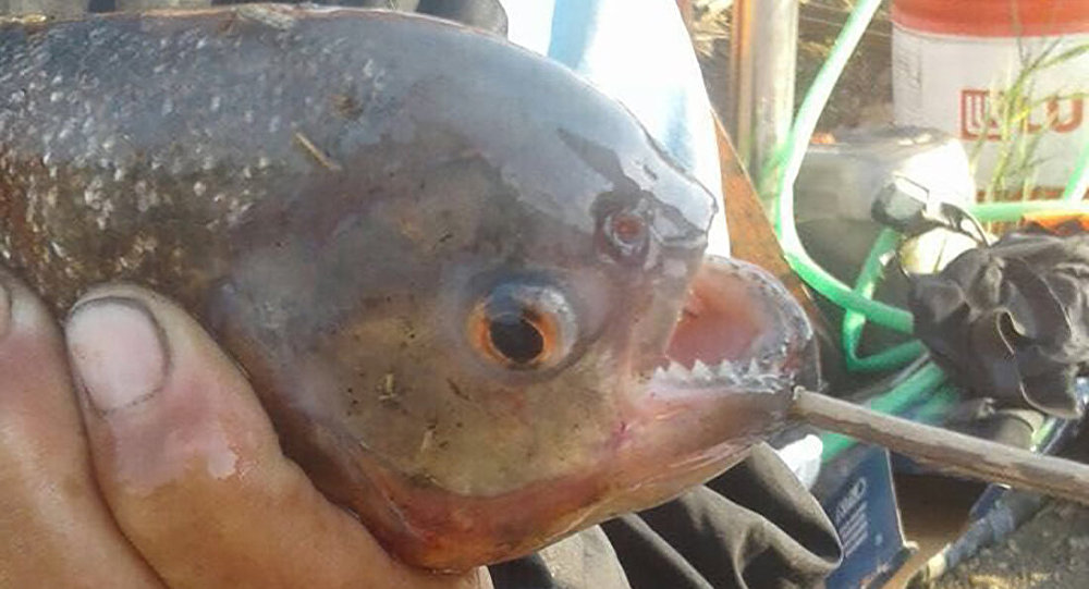 Пиранья, выловленная в канале в Астане