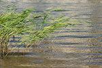 Речные камыши, архивное фото