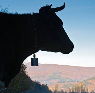 Корова. Архивное фото
