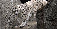 Архивное фото снежного барса в Московском зоопарке