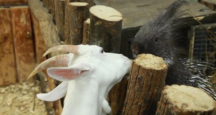 Дикобраз подружился с козой и морской свинкой в контактном зоопарке Уфы