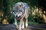 Архивное фото волка