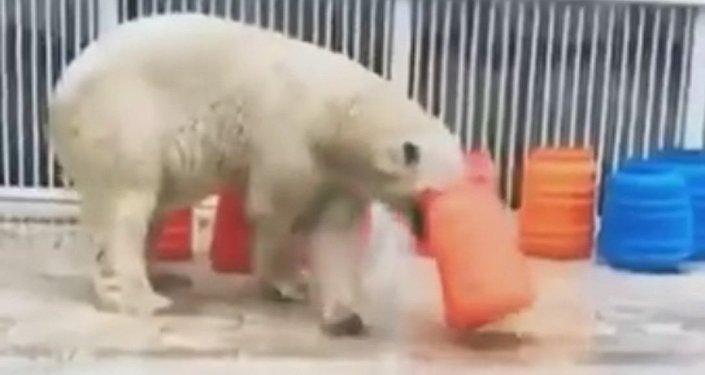 Медведь играет в алматинском зоопарке