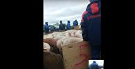 Свиньи перекрыли трассу в Оренбургской области