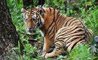 Тигр в сафари-парке, архивное фото