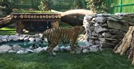 Амурский тигр Урман переехал в новый вольер