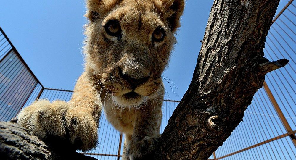 Архивное фото львенка