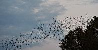 Стая птиц и самолет в небе, архивное фото