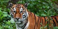 Архивное фото тигра