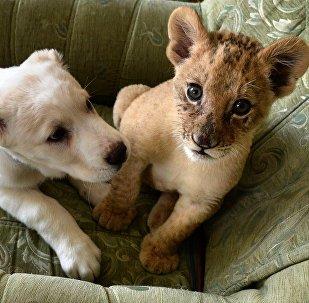 В зоопарке во Владивостоке маленькая львица подружилась со щенком