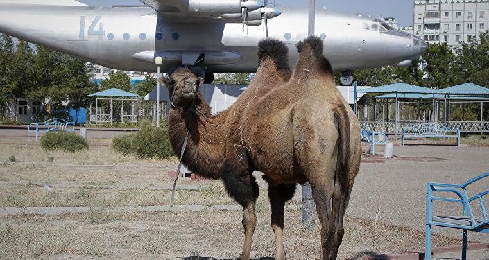 Верблюд на одной из улиц Байконура