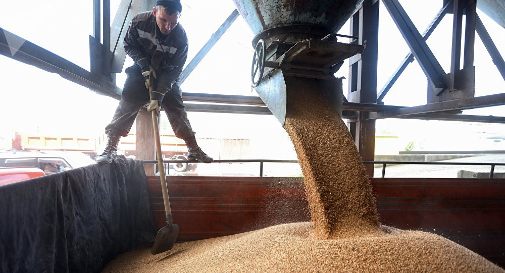 Рабочий насыпает пшеницу в грузовик, архивное фото