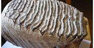Зуб мамонта, обнаруженный в Тургае