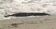 Крокодил длиной около 1,8 метра был замечен на пляже во Флориде