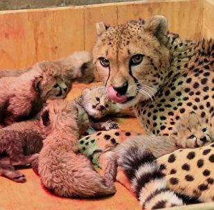 Восемь детенышей родились у самки гепарда в зоопарке Сент-Луиса