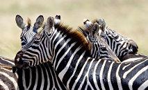 Зебры, архивное фото