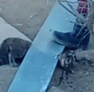 Дикая кошка напала на людей в Актау