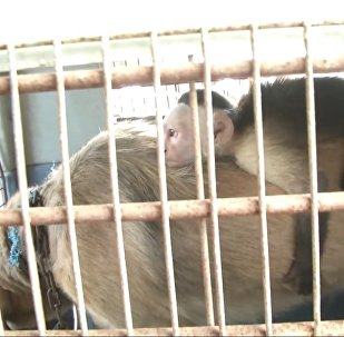 Собака усыновила обезьянку