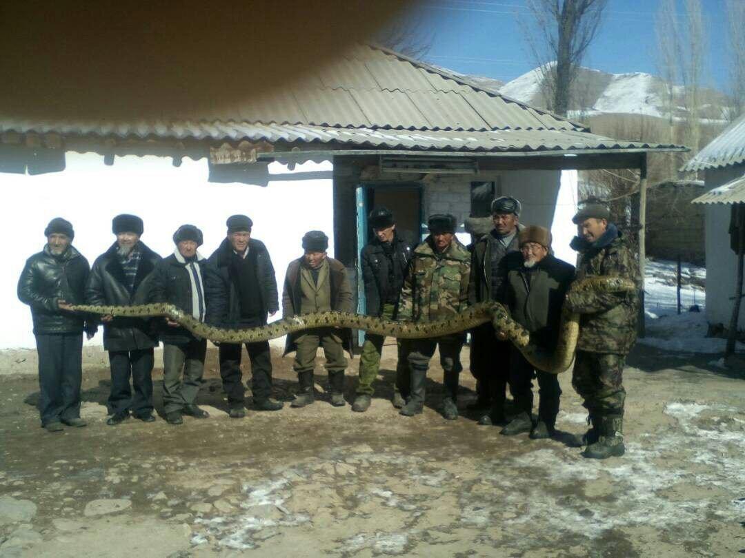 Фото анаконды, якобы пойманной в Павлодарской области