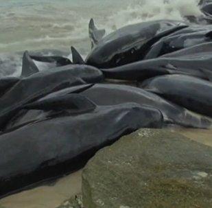 Более 150 черных дельфинов выбросились на побережье Австралии