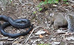 Схватка белки и змеи