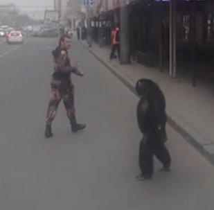 Цирктен қашқан маймыл көшеде қыдырып жүр - видео