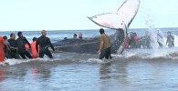 Аргентинада жағаға шығып қалған кит құтқарылды