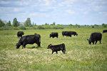 Коровы, архивное фото
