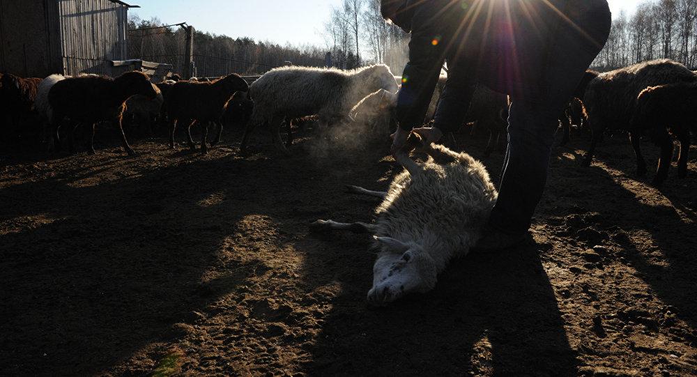 Забой скота, архивное фото