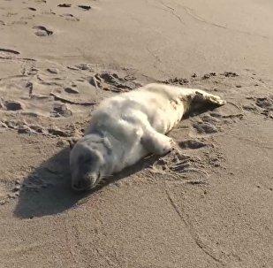 Раненого детеныша тюленя спасли под Калининградом