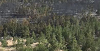 Пепелище на месте соснового бора в Восточном Казахстане – видео с вертолета