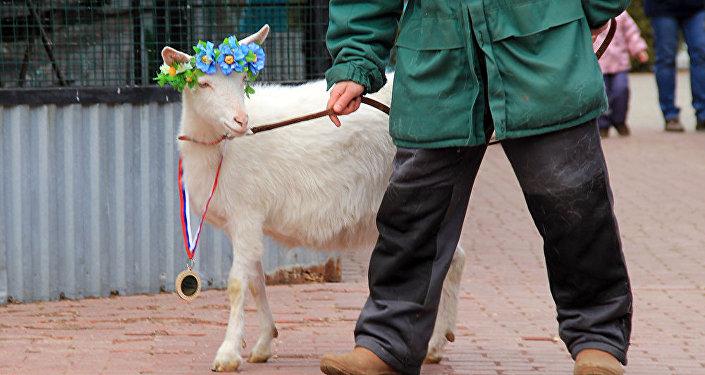Что ждет сборную России — достоверный прогноз козы-оракула из Самары