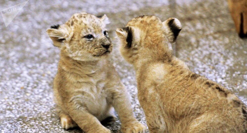 Львята в зоопарке